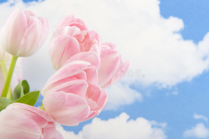blåa rosa skytulpan fotografering för bildbyråer