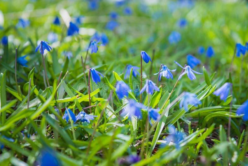 Blåa scillablommor som blommar i grönt gräs i tidig vår arkivfoto