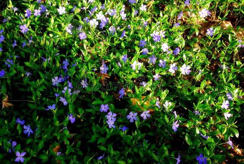Blåa små blommor arkivbilder