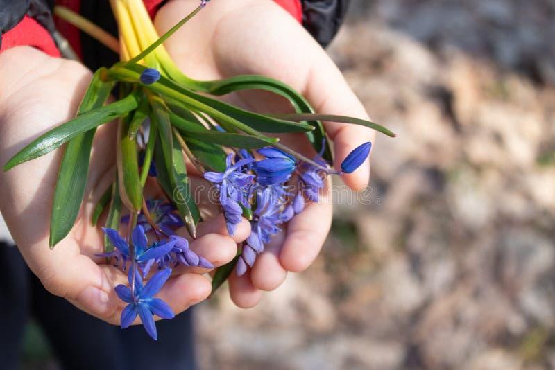 Blåa små snödroppar på gömma i handflatan av ett barn De första blommorna av våren Snowdrops i skogen royaltyfria bilder