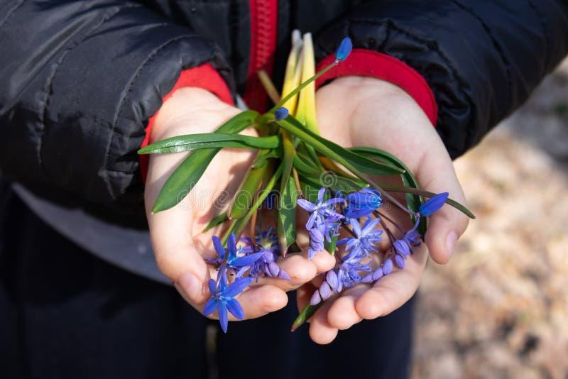 Blåa snödroppar på gömma i handflatan av ett barn Snödroppar är de första blommorna av våren arkivbilder