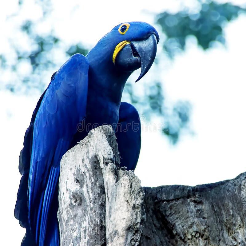 Blåa Spixs för papegoja slut för ara upp att sitta på trädet royaltyfria bilder
