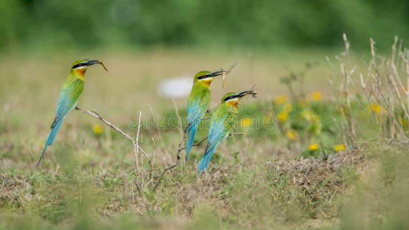 Blåa Tailed biätare som bär mat för deras fågelungar arkivfoton