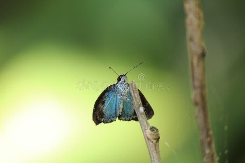 blåa vingar royaltyfria foton