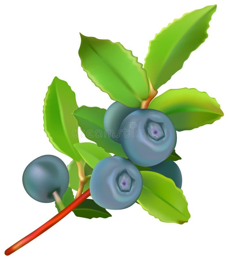blåbär vektor illustrationer