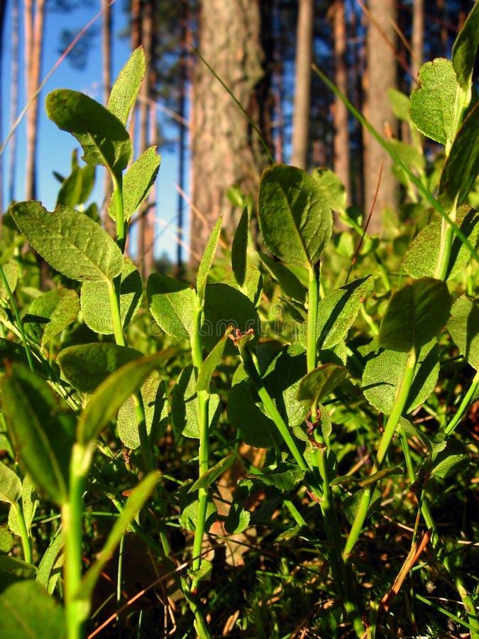 Download Blåbär arkivfoto. Bild av skog, trees, ihopsamlare, rött - 996260