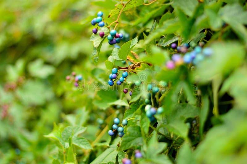 Blåbär i skogen royaltyfri fotografi