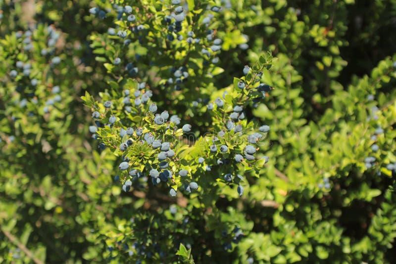 Blåbär i skogen royaltyfria foton