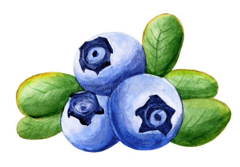 Blåbär med sidor på vitt, vattenfärgillustration vektor illustrationer