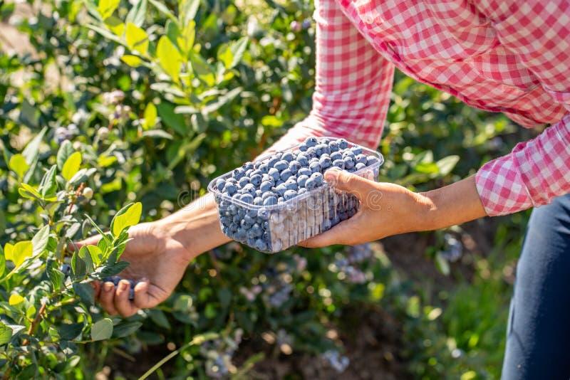 blåbär som samlar kvinnan yrkesmässig skörd av bär fotografering för bildbyråer