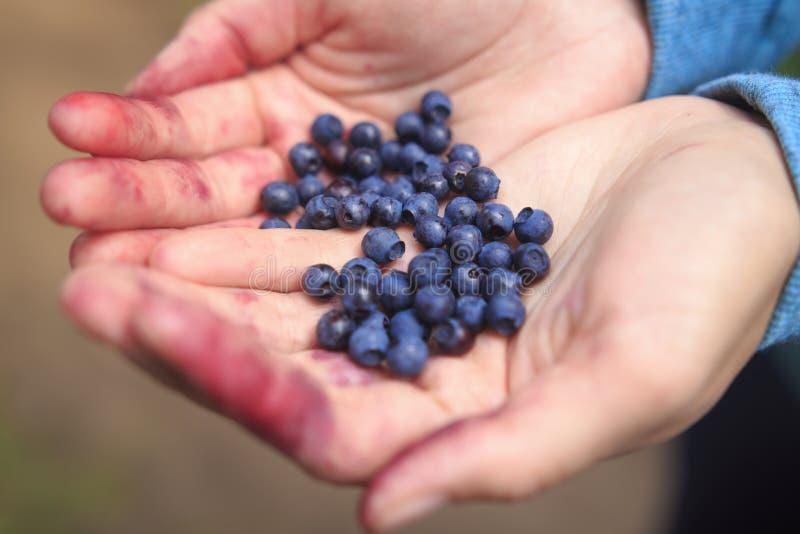 Blåbärbär i händerna av flickanärbilden Händer i blåbärfruktsaft arkivbild