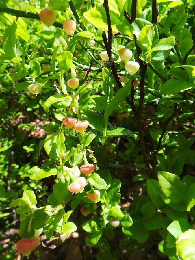 Blåbärblommagräsplan lämnar tätt upp solljus royaltyfri bild