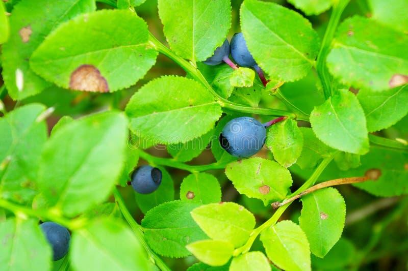 Blåbärbuske i skogen royaltyfri fotografi