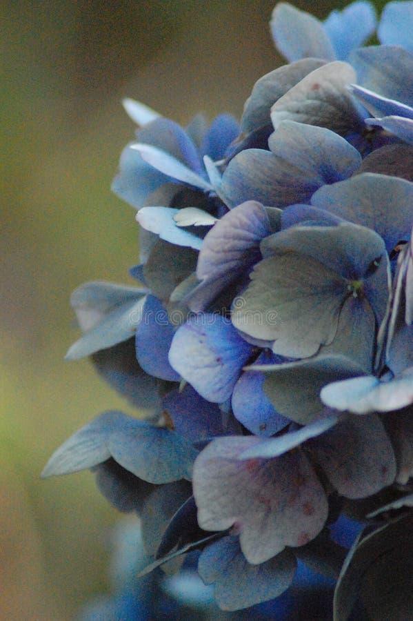 Blåfärgad hortensias arkivfoton