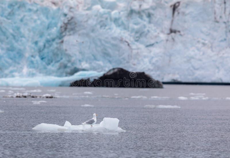 Blågrön fiskmås, Larushyperboreus som framme sitter på ett litet isberg av en glaciär på Svalbard, Norge royaltyfri bild