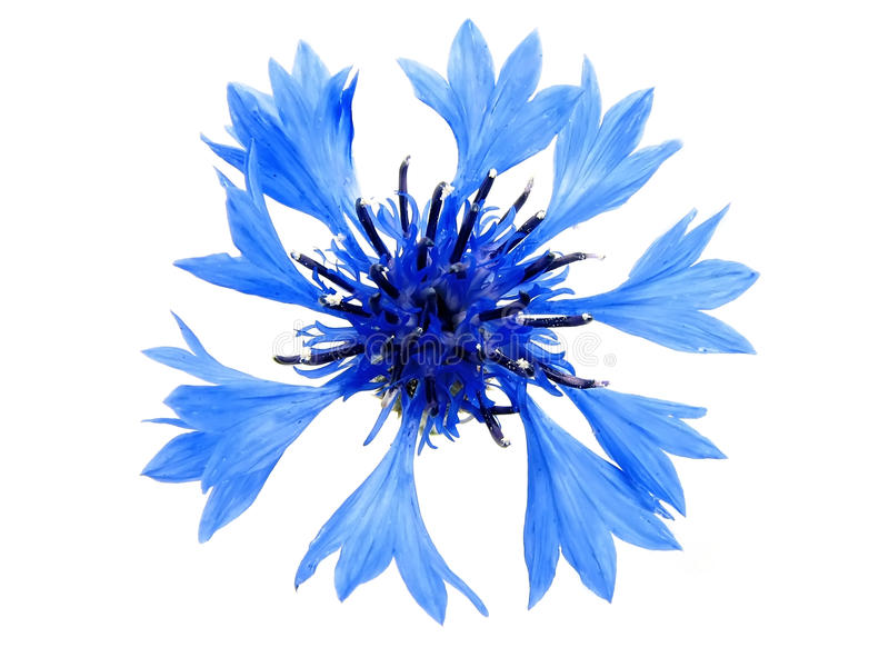 blåklint royaltyfria foton