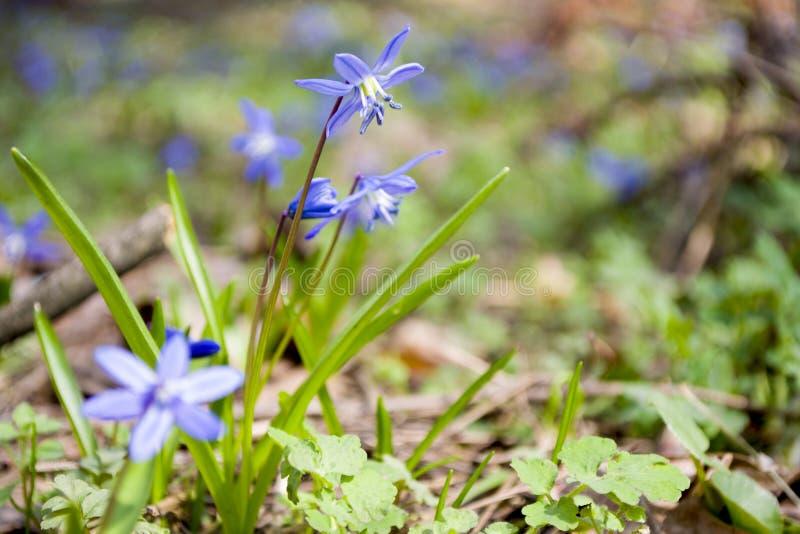 Blåklockablommor Våren är det kommande begreppet arkivfoto