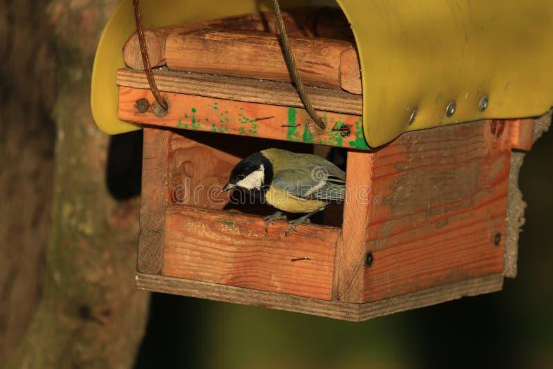 Blåsångare i fågelförlagemataren arkivfoto