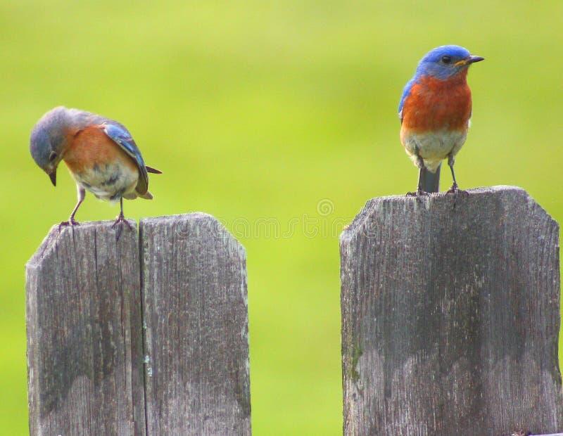 Blåsångare på staketet royaltyfri foto
