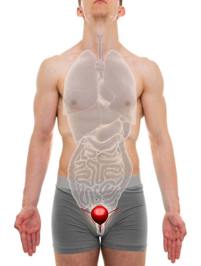 Blåsaman - anatomi för inre organ - illustration 3D royaltyfria bilder