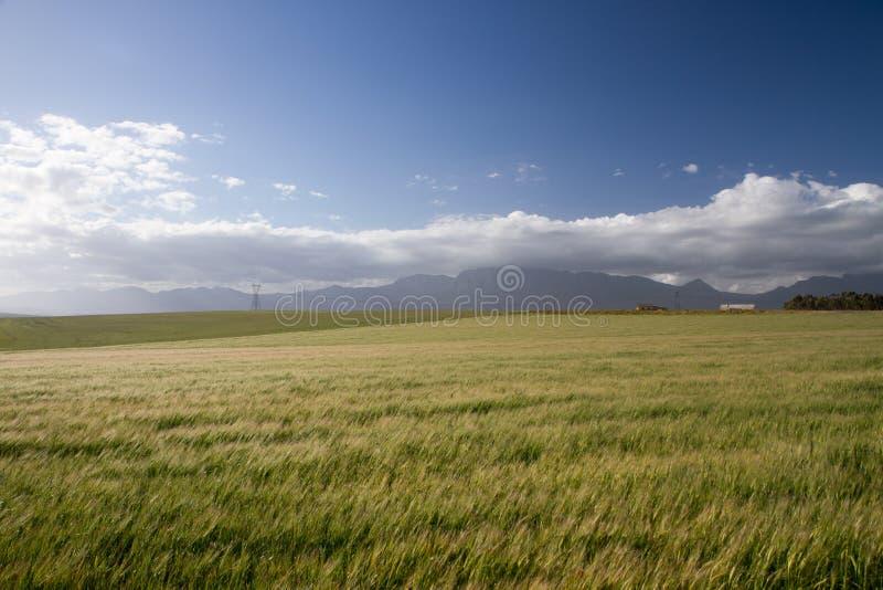 Blåsigt vetefält royaltyfri fotografi