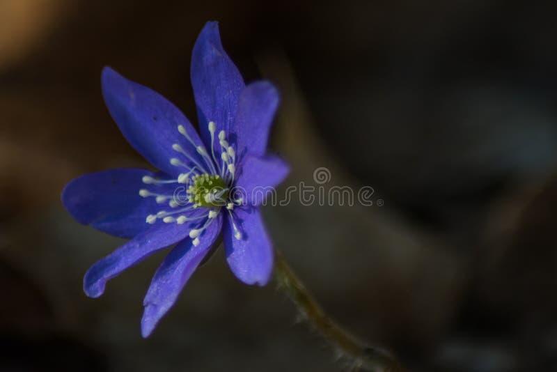 Blåsippablåttblomma royaltyfri bild