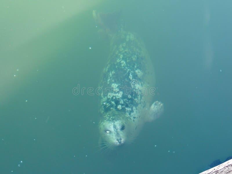 Blåtira Victoria Canada för hamnGrey Spotted Seal One White öga ett Försegla att ytbehandla i havvatten av kust av Victoria Canad royaltyfria bilder