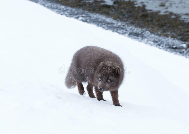 Blått anseende för arktisk räv för morf i snö royaltyfri foto