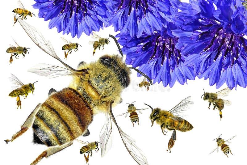 Blått blomma- och honungbiflyg pollination royaltyfri bild