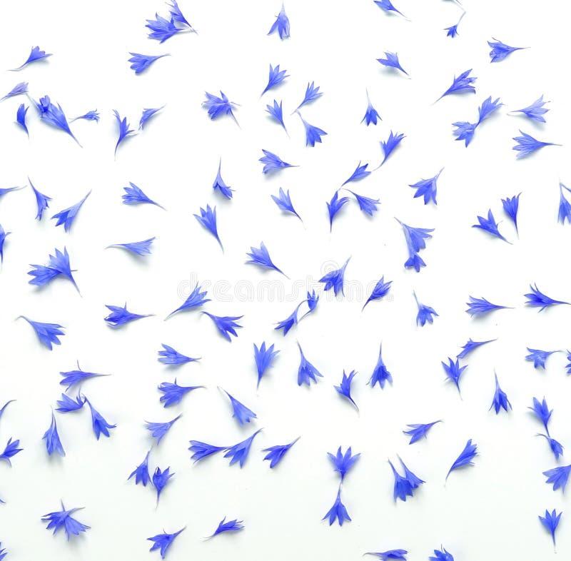Blått blommar blåklintkronbladmodellen på vit bakgrund royaltyfria bilder