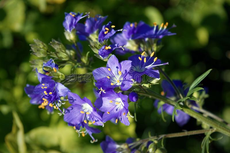 Blått blommar den Polemoniumcaeruleum eller Jacob-stegen arkivfoto