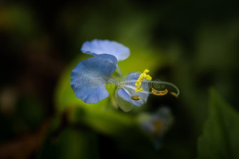 Blått blommar i vår arkivbild