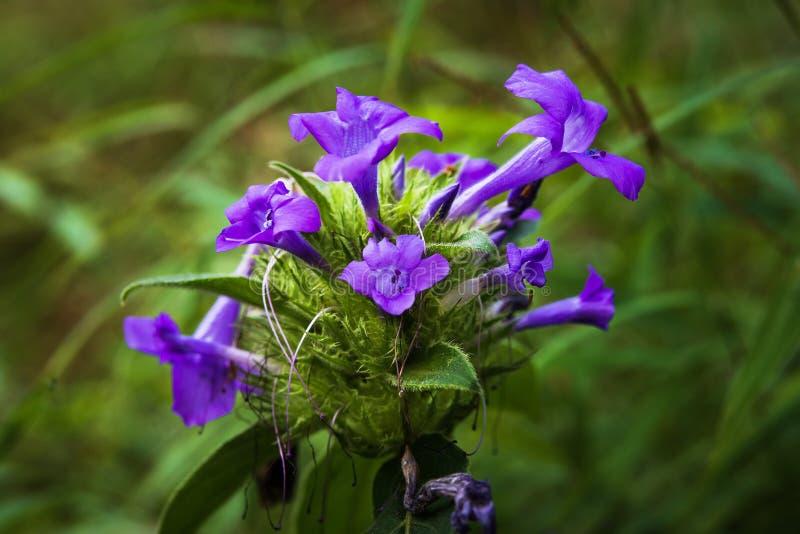 Blått blommar i vår royaltyfria bilder
