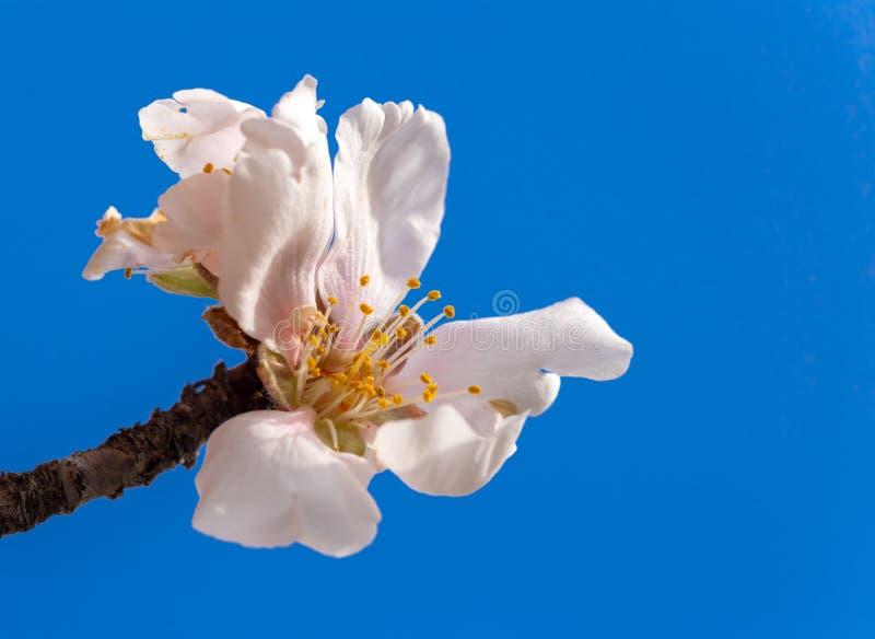 Blått för bakgrund för vår för makro för blommor för mandelträd royaltyfri foto