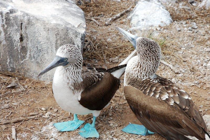 Blått-footed dumskallefåglar, Galapagos. fotografering för bildbyråer