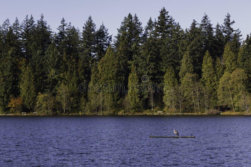 Blått hägeranseende på en borttappad lagun för inloggning royaltyfri fotografi
