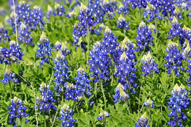 blått hättafält arkivfoto