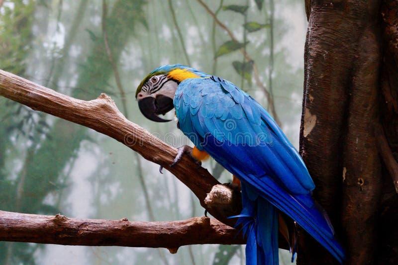 Blått-hövdad ara arkivbilder