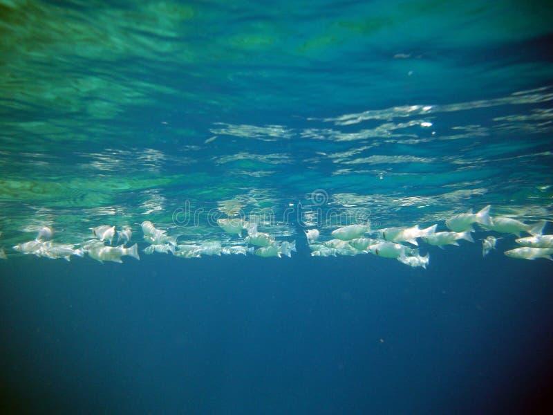 Blått hav med stora flockfiskar arkivbilder