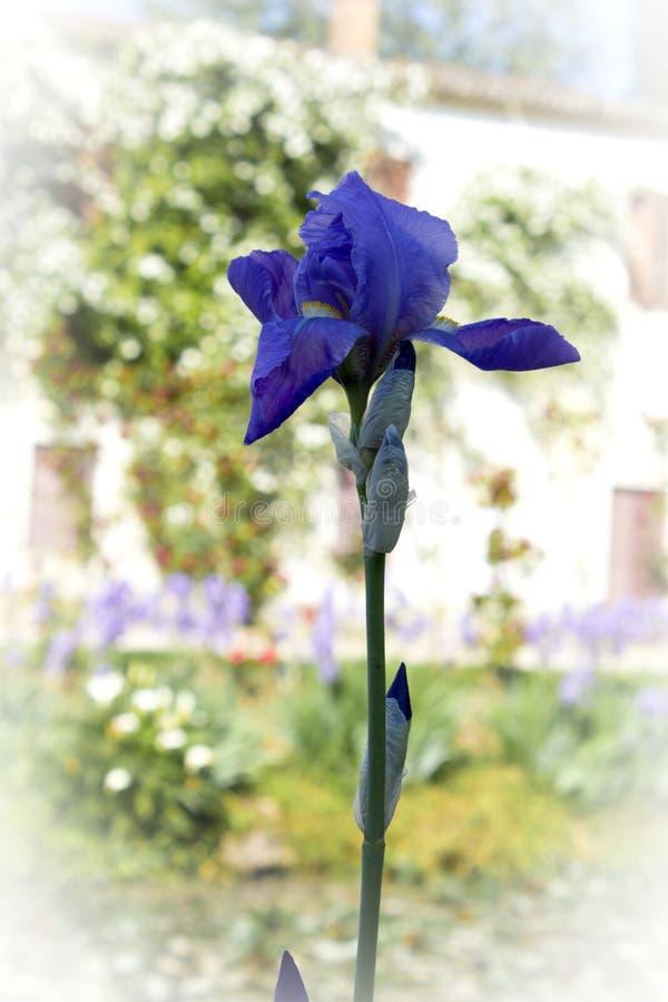 Blått irisblommaslut upp arkivfoton