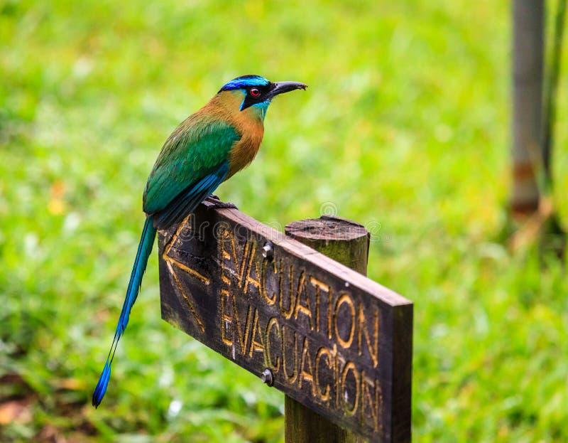 Blått-krönade Motmot i Costa Rica arkivbilder