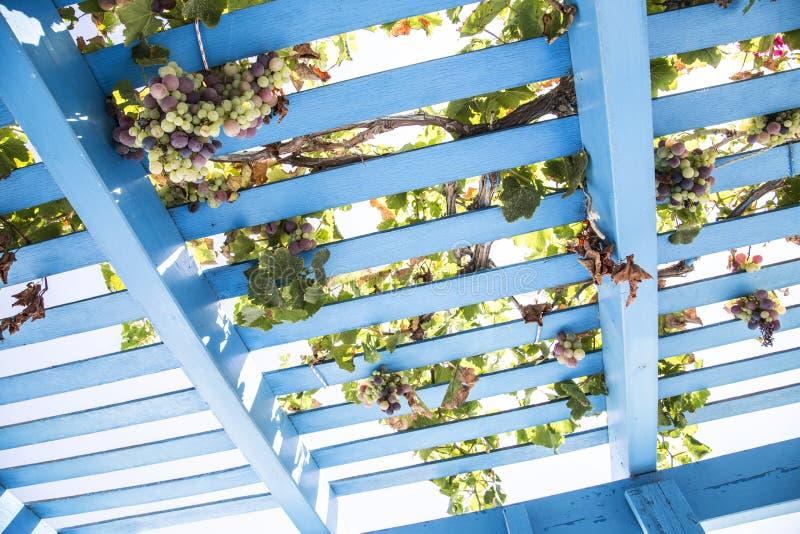 Blått målade träpergolagaller med vinrankor och druvor royaltyfria bilder