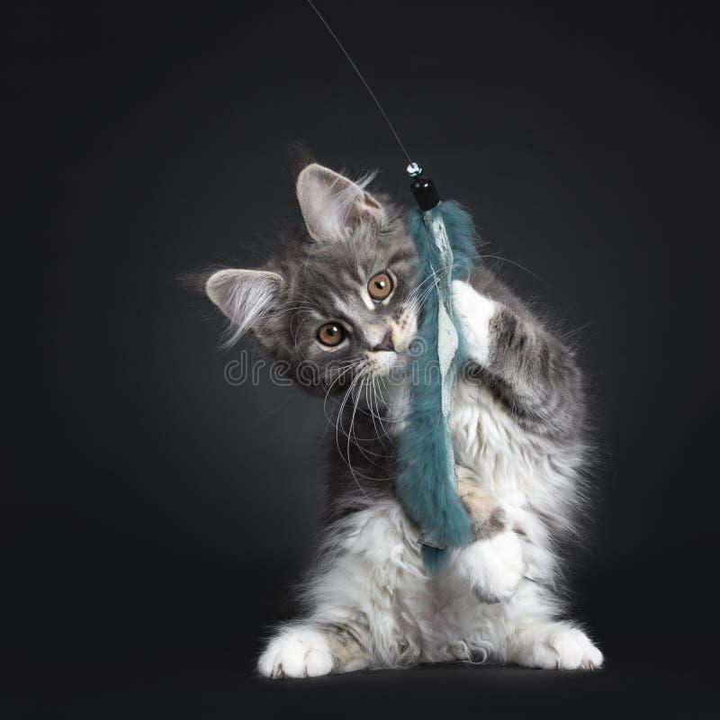 Blått med den vita Maine Coon katten på svart royaltyfria foton