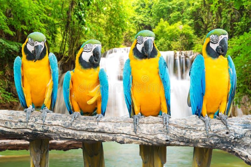 Blått-och-guld ara mot tropisk vattenfallbakgrund arkivfoto
