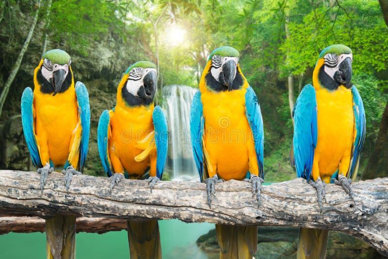 Blått-och-guld ara mot tropisk vattenfallbakgrund royaltyfri bild