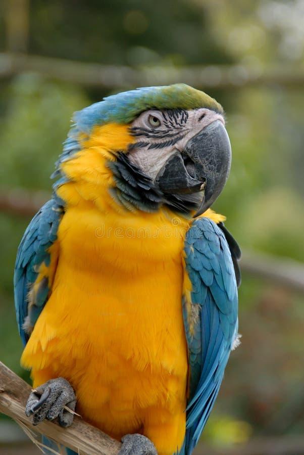 Blått- och gulingMacawpapegoja (#44) royaltyfri fotografi