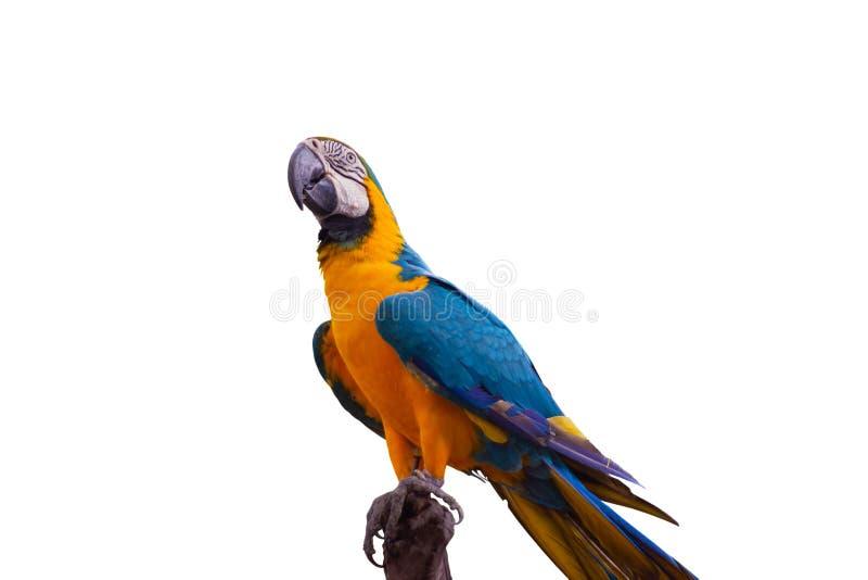 Blått och gult araanseende för fågel på filialer royaltyfria bilder
