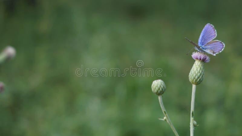 Blått-påskyndad fjäril på en blomma i en solig dag för sommar arkivfoton