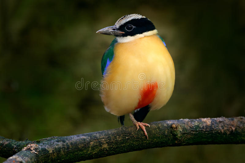 Blått-påskyndade Pitta, Pitta moluccensis, i härlig naturlivsmiljö, Indonesien Sällsynt fågel i den gröna vegetationen Djur från  royaltyfria foton