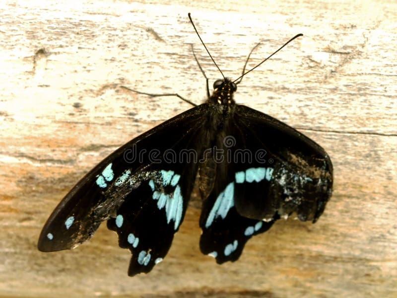 Blått-satt band Swallowtail fjäril 1 arkivfoton